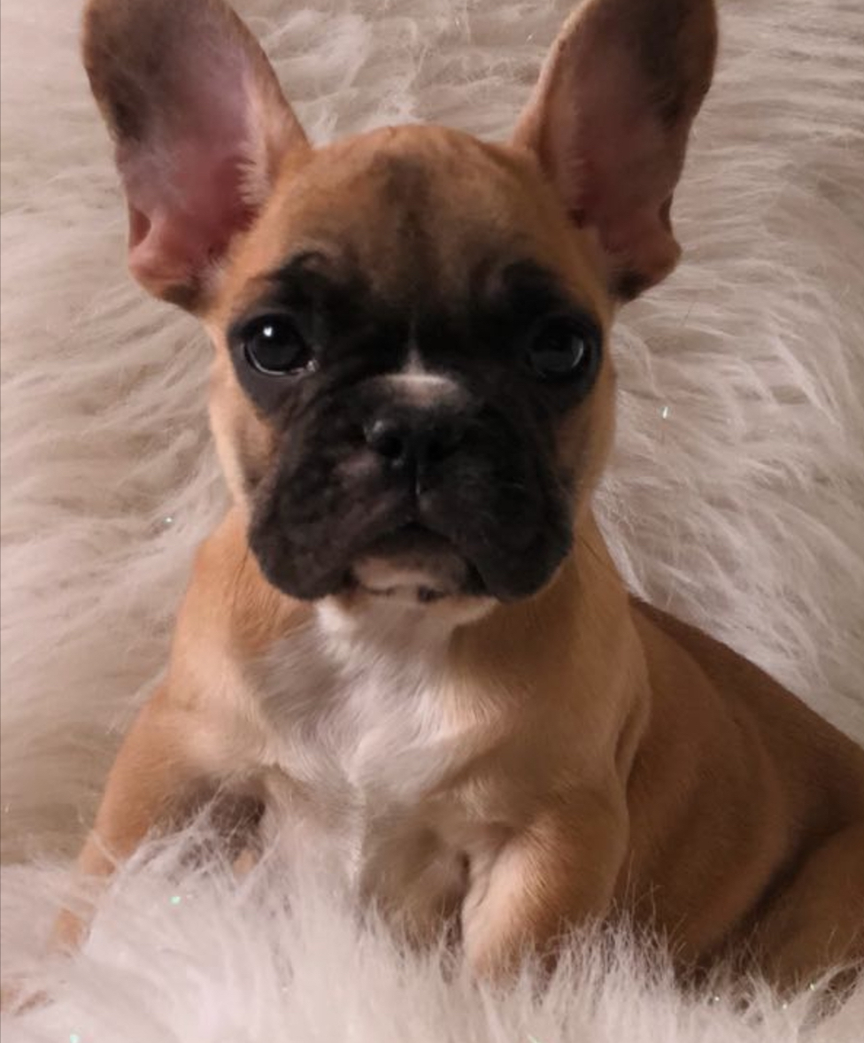 red fawn female    top french bulldogs